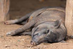 Big pig sleeping Stock Photos