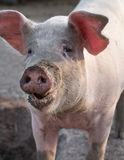 Big pig snout closeup portrait Stock Images
