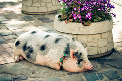 Big pig in the town Royalty Free Stock Photos