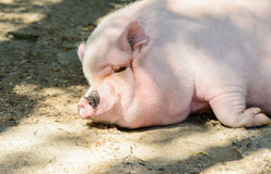 Big pig Royalty Free Stock Photos