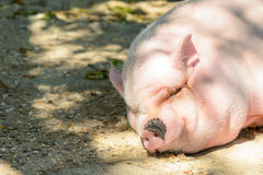 Big pig Royalty Free Stock Photography