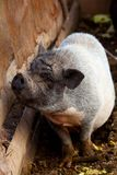 Big pig on walk Stock Images