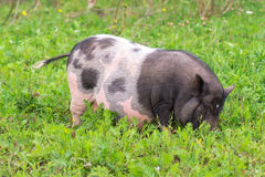 Big pig walking on the grass Stock Photography