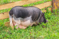 Big pig walking on the grass Royalty Free Stock Photos