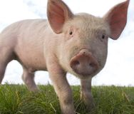 Big Piglet Close Up. Low close up portrait of a biological piglet Royalty Free Stock Image