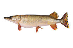 Big Pike. Isolated over white background Stock Photos