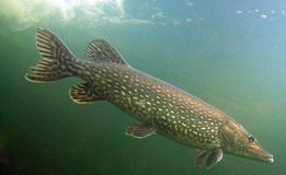 Big Pike (Esox Lucius). Underwater Photo Big Pike (Esox Lucius) in Bolevak Pond - famous anglig and diving place - Pilsen City Czech Republic Europe Stock Image