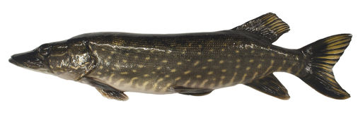 Big pike. The big pike isolated on white background Royalty Free Stock Photography