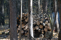 Big pile of fresh cut logs. Lying in the forest Stock Images