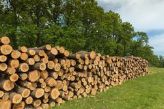 Big Pile Of Oak Wood In A Forest Stock Image