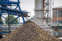 Big pile of sugar beet in sugar factory under the conveyor belt Stock Photography