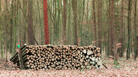 Big pile of wood in autumn forest Stock Photo