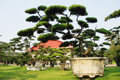 Big pine bonsai in a villa garden Stock Photos