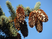 The Big Pine Branch Royalty Free Stock Photo