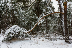 Big pine branch bent to the ground. Stock Photos
