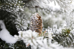 Big Pine Cone Stock Images