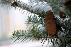 Big Pine Cone. On the tree covered with snow Royalty Free Stock Image