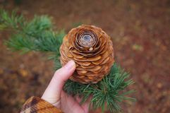 a big pine cone royalty free stock image