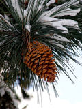 Big Pine Cone. On the tree covered with snow stock photography