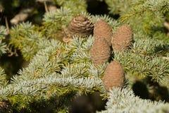 Big pine cones of Cedar Of Lebanon, evergreen conifer tree growing in Tasmania, Australia. Closeup big pine cones of Cedar Of Lebanon, evergreen conifer tree royalty free stock images
