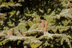 Big pine cones of Cedar Of Lebanon, evergreen conifer tree growi Stock Images