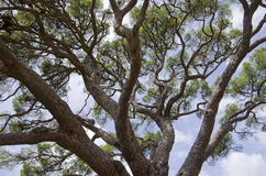 Big pine stock image