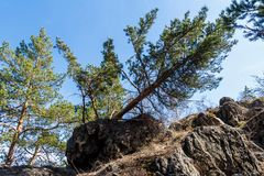 Big Pine fell in the mountains. Nature stock photo