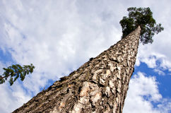 Big pine in the forest and sky Stock Photography