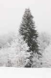 Big pine in the mountains, Ukraine Stock Image