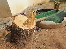 Big Pine stump. From gardener cutting at  home Stock Images