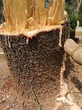 Big Pine stump. From gardener cutting at  home Royalty Free Stock Image