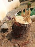 Big Pine stump. From gardener cutting at  home Royalty Free Stock Photo