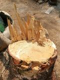 Big Pine stump. From gardener cutting at  home Royalty Free Stock Images