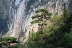 Big pine tree Stock Photos