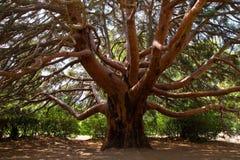 Big pine tree. Big pine branched softwood tree stock photos