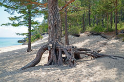 The big pine tree with air roots on the coast of Lake Baikal. Grandmother Bay. The big pine tree with air roots on the coast of Lake Baikal Royalty Free Stock Images