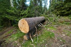 Big pine tree cut down. In a lush forest in the mountains Royalty Free Stock Photos