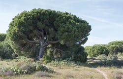 Big pine tree Royalty Free Stock Photo