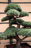 Big pine tree like bonsai Royalty Free Stock Images