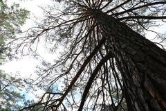 Big pine tree. Looking up of a big pine tree stock photos