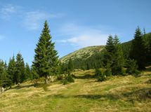Big pine tree at mountain meadow. Gorgany region in Carpathian mountain Stock Photo