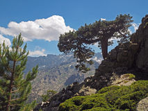 Big pine tree on the rock with snow spotted mountains backround Stock Image