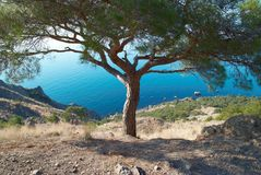 Big pine tree on the sea shore Stock Photos