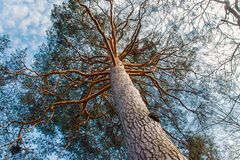 A big pine tree shot. From the bottom up on sky background royalty free stock images