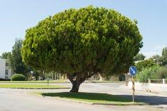Big Pine tree Royalty Free Stock Photos
