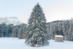 Big pine tree in winter Royalty Free Stock Photos