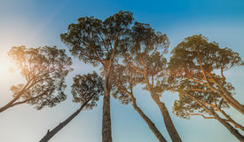 Big Pine Trees. Dramatic angle royalty free stock images