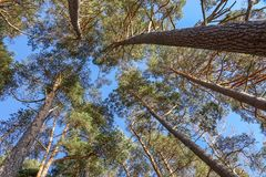 Big pine trees in the woods.  royalty free stock image