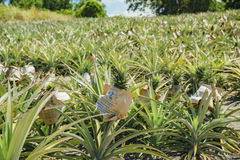 Free Big Pineapple Farm Stock Photography - 98756962