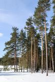 Big pines in winter forest stock photography